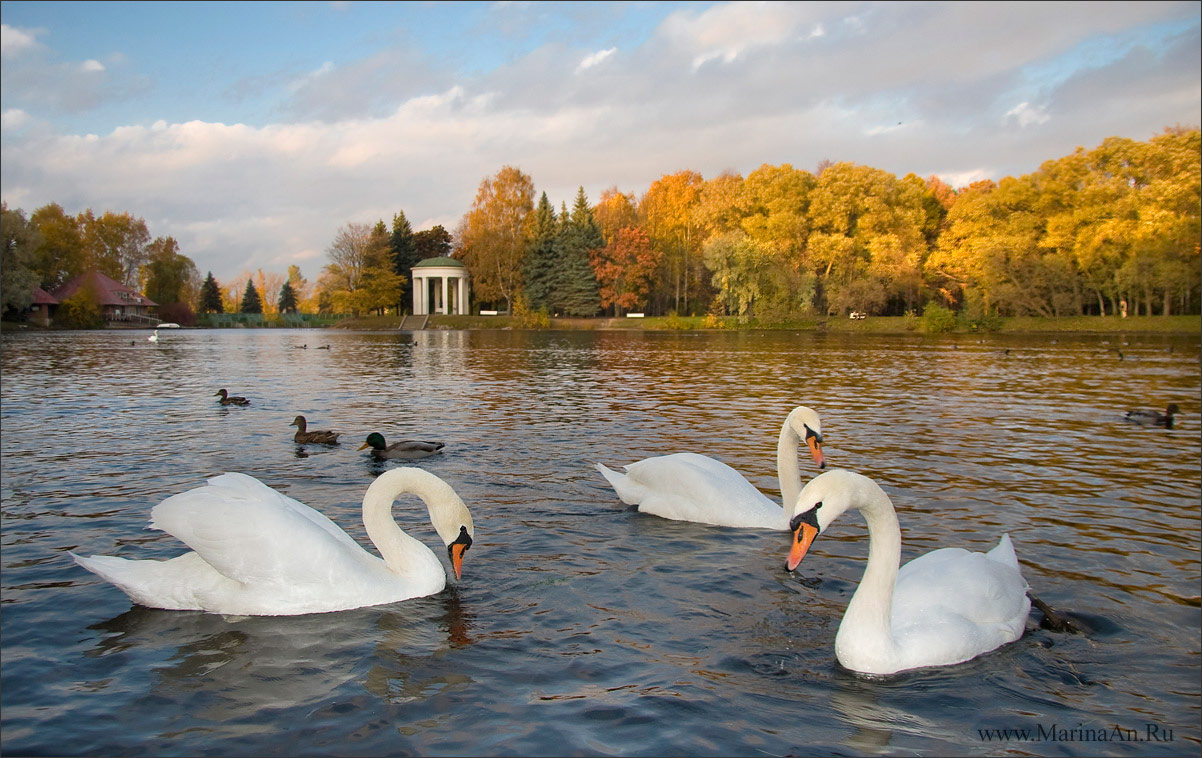 Autumn Petersburg. Krestovsky island. The Swan pond